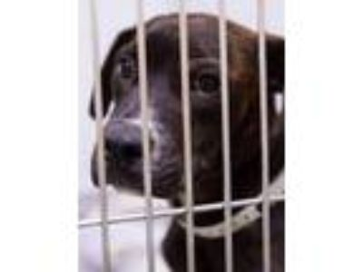 Adopt Buster Brown a Brindle - with White Boxer / Terrier (Unknown Type