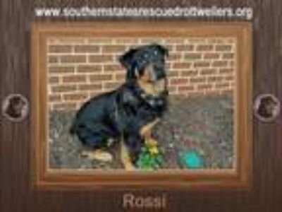 Adopt Rossi a Black - with Tan, Yellow or Fawn Rottweiler / Mixed dog in White