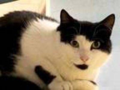 Adopt Moon-Spirit Cat a White Domestic Shorthair / Domestic Shorthair / Mixed