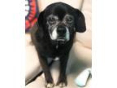 Adopt Sophie a Black Pug / Beagle / Mixed dog in Guthrie, OK (25525030)