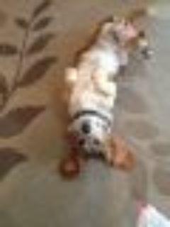 Sadie Basset Hound Dog