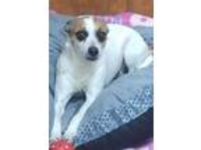 Adopt 19-06634 Allie a White Jack Russell Terrier / Mixed dog in Burlington