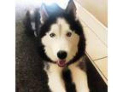Adopt Glazier a Black - with White Siberian Husky / Mixed dog in Winter Springs