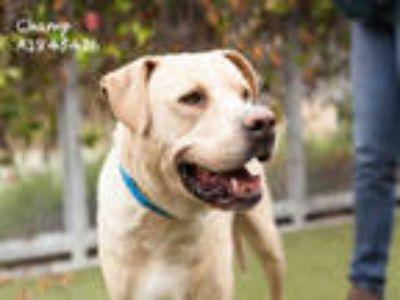 Adopt CHAMP a Tan/Yellow/Fawn - with White Labrador Retriever / American Pit