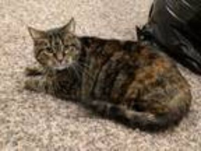 Adopt Cookie a Domestic Short Hair, Torbie
