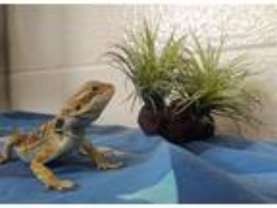 Adopt Tabasco a Lizard reptile, amphibian, and/or fish in Monterey