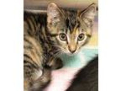 Adopt Butter a Gray or Blue Domestic Shorthair / Domestic Shorthair / Mixed cat