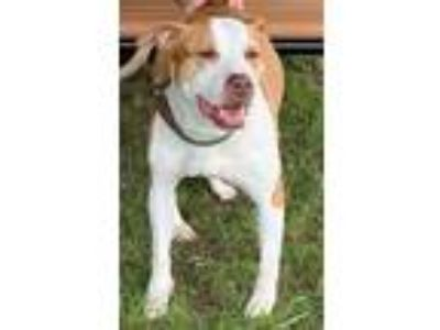 Adopt Baby Girl a American Staffordshire Terrier