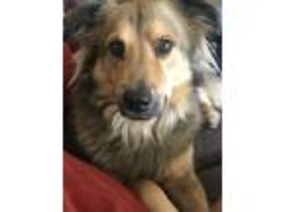 Adopt Kylo a Tan/Yellow/Fawn - with Black German Shepherd Dog / Golden Retriever