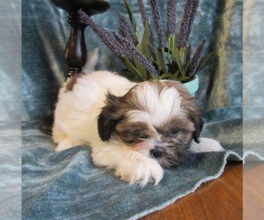 Shih Tzu PUPPY FOR SALE ADN-130062 - Purebred Shih Tzu female pup