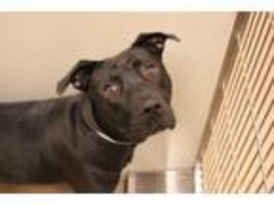 Adopt RUTHIE a Pit Bull Terrier