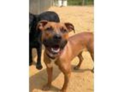 Adopt Wrigley a Pit Bull Terrier