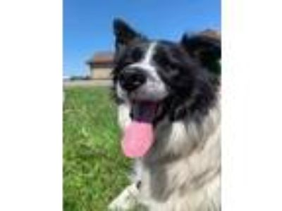 Adopt Misty a Border Collie / Mixed dog in Neillsville, WI (25619534)