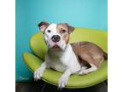 Adopt Donnie a Pit Bull Terrier