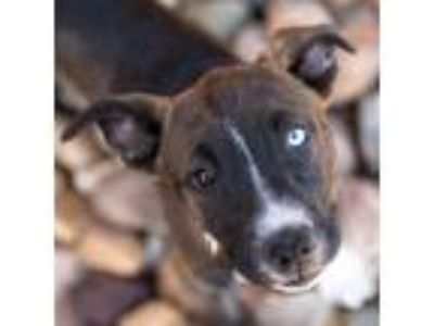 Adopt Wheezie a Siberian Husky / American Pit Bull Terrier / Mixed dog in