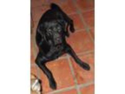 Adopt Richard Burton a Labrador Retriever, Chow Chow