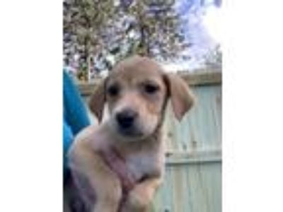 Adopt Nate Golden Boy a Tan/Yellow/Fawn Labrador Retriever dog in