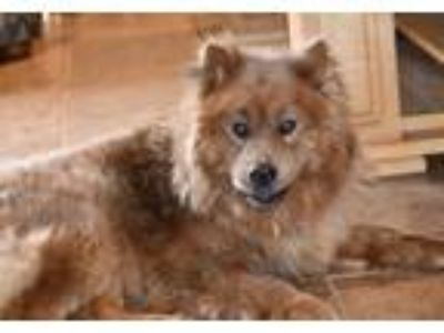 Adopt Red a Chow Chow