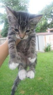 Free 9 week old Litter box trained kittens