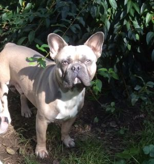 French Bulldog PUPPY FOR SALE ADN-98394 - Blue Fawn French Bulldog
