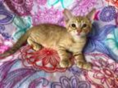 Adopt Mozzarella a Extra-Toes Cat / Hemingway Polydactyl, Domestic Short Hair