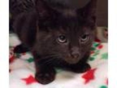 Adopt Dock a All Black Domestic Mediumhair / Domestic Shorthair / Mixed cat in
