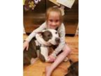 Adopt Midnight a White - with Gray or Silver American Pit Bull Terrier /