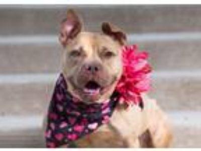 Adopt Gia a Boxer, Pit Bull Terrier