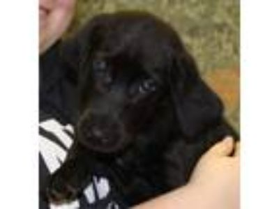 Adopt HollyBerry-At the shelter a Labrador Retriever
