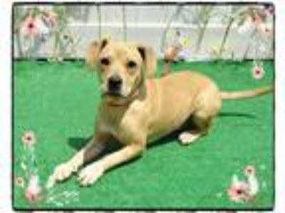 Adopt TILLY see also PETE a Tan/Yellow/Fawn Hound (Unknown Type) / Mixed dog in