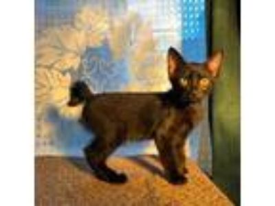 Adopt Would? a All Black Domestic Shorthair / Domestic Shorthair / Mixed cat in