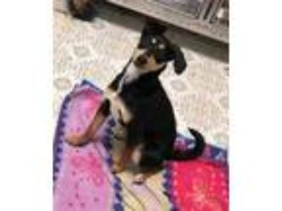 Adopt Maggie Simpson a Black Miniature Pinscher / Mixed dog in Yucaipa