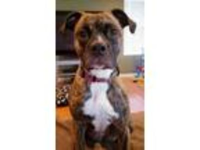 Adopt PiperAnn a Boxer, Boston Terrier