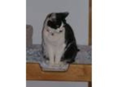 Adopt Roxie a Domestic Short Hair