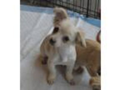 Adopt Shelley (Toy) a Dachshund, Jack Russell Terrier
