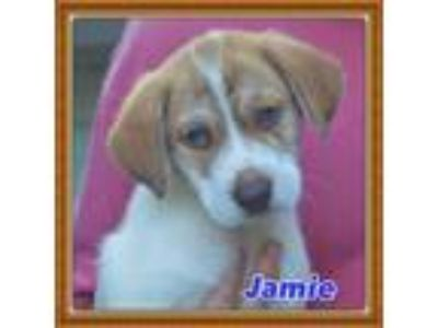 Adopt Jamie a Tricolor (Tan/Brown & Black & White) Brittany / Shepherd (Unknown