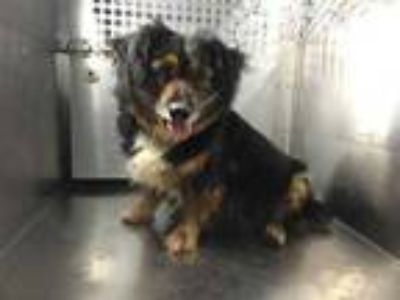 Adopt Rose a Black Dachshund / Mixed dog in Fort Worth, TX (25641502)