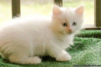 Female Turkish angora kitten