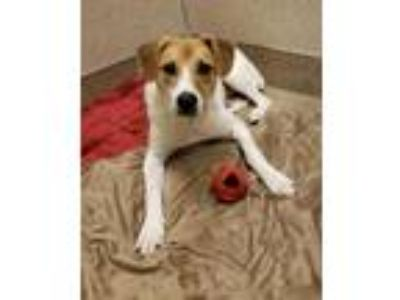Adopt Sapphire a White Hound (Unknown Type) / Mixed dog in South Elgin