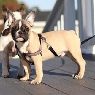 French Bulldog PUPPY FOR SALE ADN-102951 - Max in New York