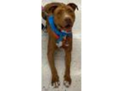 Adopt Sadie a Tan/Yellow/Fawn American Pit Bull Terrier / Mixed dog in The