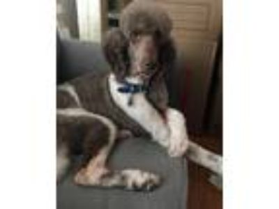 Adopt Moby a Gray/Silver/Salt & Pepper - with White Poodle (Standard) / Mixed