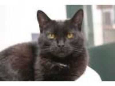 Adopt Elizabeth a Domestic Short Hair