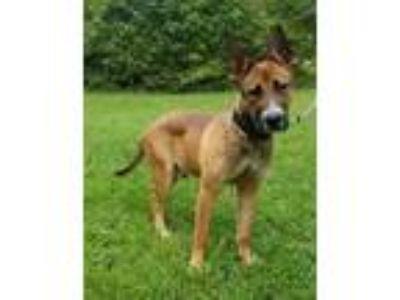 Adopt Trent a Brown/Chocolate German Shepherd Dog / Mixed dog in Greensboro