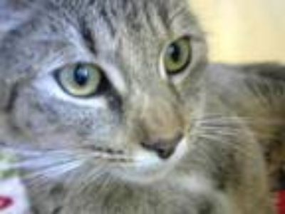 Adopt BETHANY a Domestic Short Hair