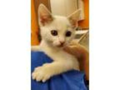 Adopt Jerry a White Domestic Shorthair / Mixed cat in Benton, KY (25309270)