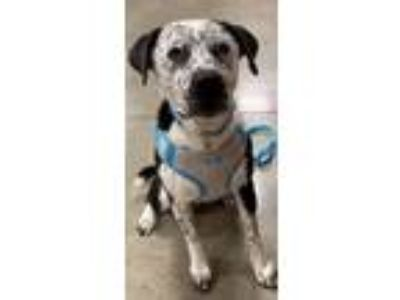Adopt Pongo a Staffordshire Bull Terrier