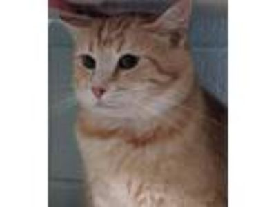 Adopt Jenna a Orange or Red (Mostly) Domestic Shorthair / Mixed (short coat) cat