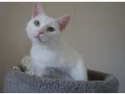Adopt Cavalia a White Domestic Shorthair / Mixed cat in Westmont, IL (25566173)