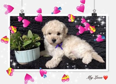 BEAUTIFUL MALTESE MIXED WITH POODLE